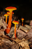 Orange mushrooms Royalty Free Stock Images