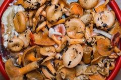 Orange mushrooms. Lactarius section Deliciosi Royalty Free Stock Photo