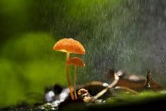 Orange Mushrooms, Marasmius Siccus Stock Photo