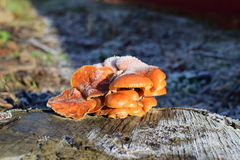 Orange mushrooms on a stub Royalty Free Stock Photos