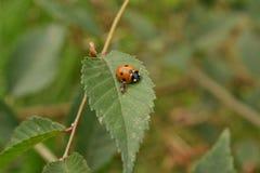 Orange nära övre för nyckelpiga och för myra arkivfoto