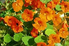 Orange nasturtium blooming in the garden Stock Photography