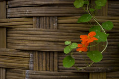 Orange nasturtium at A Fence. Nasturtium flowers in front of an old Fence Royalty Free Stock Photo