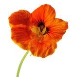 Orange nasturtium Royalty Free Stock Photos