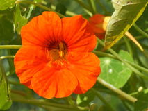 Orange Nasturtium Stock Photos