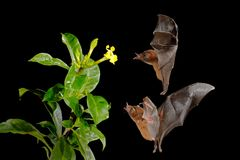 Orange nectar bat, Lonchophylla robusta, flying bat in dark night. Nocturnal animal in flight with yellow feed flower. Wildlife ac. Tion scene from tropic nature royalty free stock images