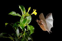 Orange nectar bat, Lonchophylla robusta, flying bat in dark night. Nocturnal animal in flight with yellow feed flower. Wildlife ac. Tion scene from tropic nature stock photo