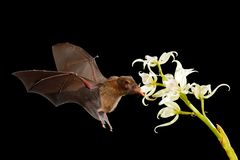 Orange nectar bat, Lonchophylla robusta, flying bat in dark night. Nocturnal animal in flight with white orchid flower. Wildlife. Action scene from tropic stock photography