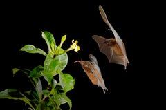 Orange nectar bat, Lonchophylla robusta, flying bat in dark night. Nocturnal animal in flight with yellow feed flower. Wildlife. Action scene from tropic nature stock photos