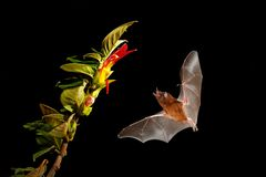 Orange nectar bat, Lonchophylla robusta, flying bat in dark night. Nocturnal animal in flight with yellow feed flower. Wildlife stock images