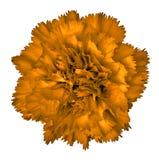 Orange nejlikablomma som isoleras på vit bakgrund Närbild element för klockajuldesign royaltyfri bild
