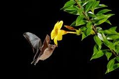 Orange nektarslagträ, robusta som Lonchophylla flyger slagträet i mörk natt Nattligt djur i fluga med den gula matningsblomman Dj arkivbild