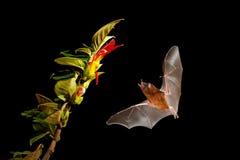 Orange nektarslagträ, robusta som Lonchophylla flyger slagträet i mörk natt Nattligt djur i flykten med den gula matningsblomman  arkivbilder