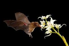 Orange nektarslagträ, robusta som Lonchophylla flyger slagträet i mörk natt Nattligt djur i flykten med den vita orkidéblomman dj arkivbild