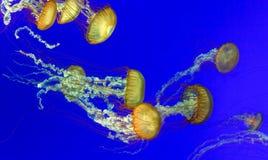Orange nettle jellyfish Royalty Free Stock Images