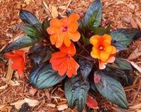 Orange New Guinea Impatiens Royaltyfri Fotografi