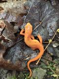 Orange Newt, Fillmore Glen State Park royalty free stock photos