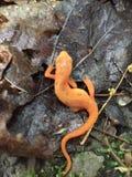 Orange Newt, Fillmore Glen State Park royaltyfria foton