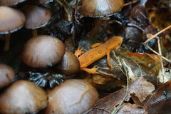 Orange newt with mushrooms. An orange newt hides amongst wild mushrooms after a rain Royalty Free Stock Image