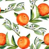 Orange Niederlassungen mit Früchten und weißen Blumen auf weißem Hintergrund vektor abbildung