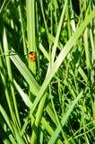 Orange nyckelpiga på grönt gräs Royaltyfri Foto