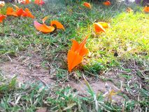 Orange oäktingteskblomma fotografering för bildbyråer