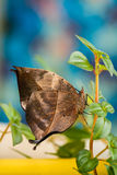 Orange oak leaf butterfly Royalty Free Stock Image