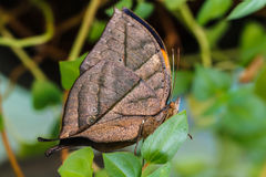 Orange oak leaf butterfly Stock Images