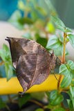 Orange oak leaf butterfly Royalty Free Stock Photography