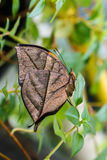 Orange oak leaf butterfly Royalty Free Stock Photos