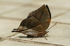 Orange oak leaf butterfly Stock Image