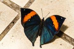 Orange oak leaf butterfly Royalty Free Stock Photo