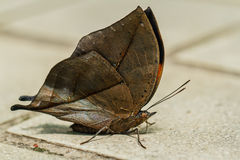 Orange oak leaf butterfly Royalty Free Stock Photos