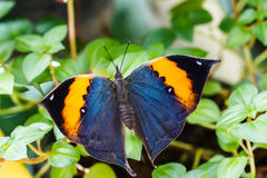 Orange oak leaf butterfly Royalty Free Stock Images