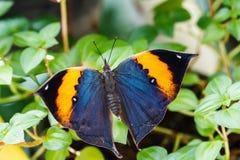Orange oak leaf butterfly Royalty Free Stock Images