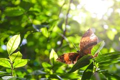 Orange Oak Leaf Butterfly on Green Leaf. Beautiful butterfly spreading its wings Royalty Free Stock Images