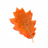 Orange Oak Leaf Isolated on White Royalty Free Stock Photos