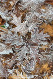 Orange oak leaves with hoar frost. Frosted orange oak leaves on the ground Stock Photos