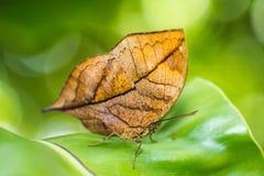 Orange oakleaf butterfly. Macro of Orange oakleaf butterfly stock photography
