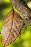 Orange oakleaf butterfly Stock Image