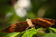 Orange oakleaf butterfly. Macro of Orange oakleaf butterfly Royalty Free Stock Images