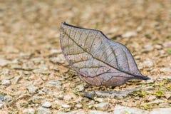 Orange Oakleaf butterfly. Close up of Orange Oakleaf or Dead leaf Kallima inachus butterfly puddling on the ground in nature Stock Image