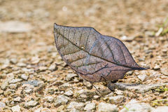 Orange Oakleaf butterfly. Close up of Orange Oakleaf or Dead leaf Kallima inachus butterfly puddling on the ground in nature Royalty Free Stock Photos
