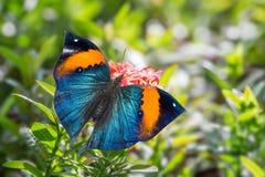 Orange oakleaf butterfly Royalty Free Stock Image
