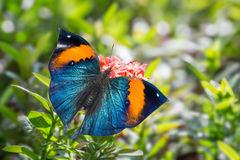 Orange oakleaf butterfly Royalty Free Stock Image