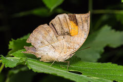 Orange Oakleaf butterfly. Close up of old Orange Oakleaf (Kallima inachus) butterfly with tattered wings perching on green leaf in nature Stock Images