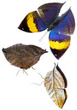 Orange oakleaf butterfly isolated Stock Image