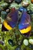 Orange oakleaf butterfly in nature Stock Image