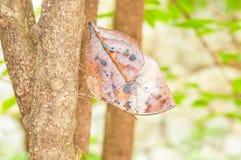 Orange Oakleaf Butterfly Stock Images