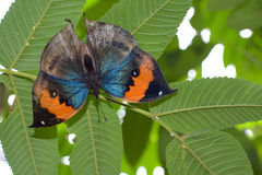 Orange oakleaf butterfly with wings spread on the underside of a leaf, scientific name Kallima inachus Stock Photography